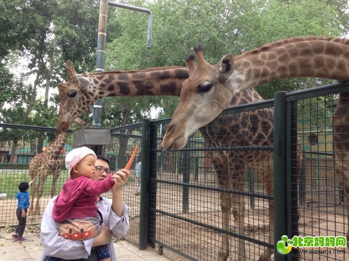 北京动物园喂长颈鹿