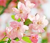 海棠花開的季節