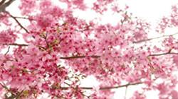 (鱼游)—正是樱花盛放时