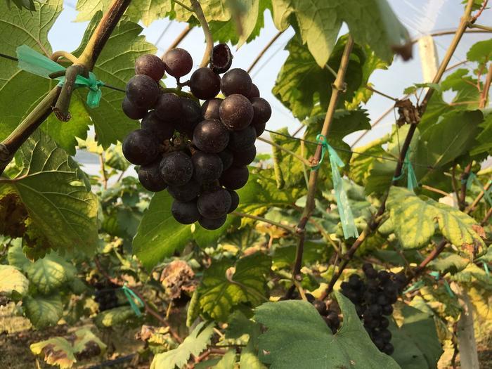 Grape (5).JPG