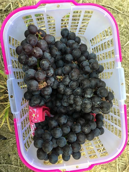 Grape (1).JPG