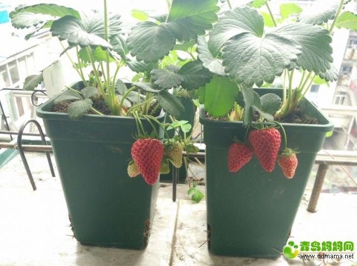 草莓55.jpg