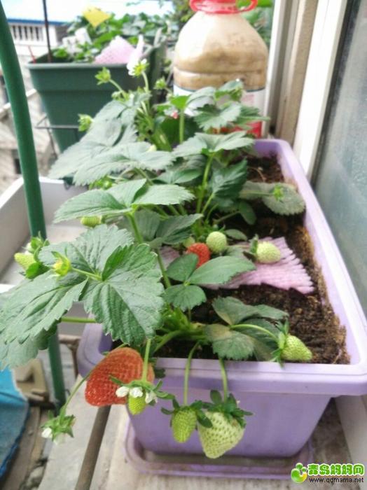 草莓66.jpg