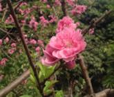 家门口的桃花 很惊艳