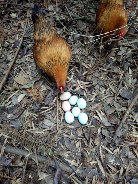 绿壳鸡蛋6.jpg